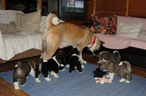Akita pups 4,5 week playing
