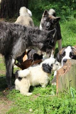 Koirat leikkii heinäkuu 2013