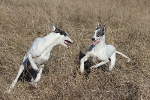 Greyhounds April blues