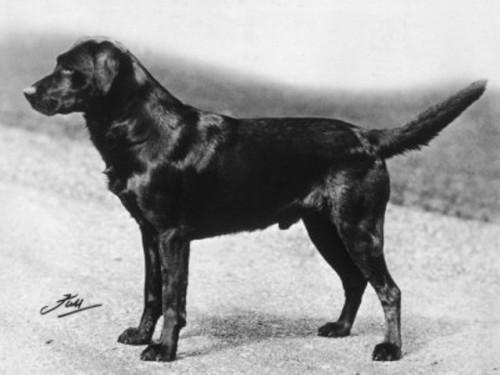 Labrador BIS 1932