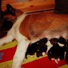 Puma´s akita babies are here / Akita Puman pennut ovat syntyneet