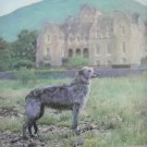What makes deerhounds such a special breed?