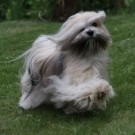 Here are our next unique lhasa apso generations
