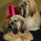 Koiran kasvattajan tulee osata perusasiat – onko perusteet kadoksissa?