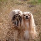 Vuoden Koira Elviira on aivan tavallinen onnellinen Suomessa kasvatettu kotikoira