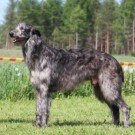 It is not possible to make compromises in breeding with dog nerve sturcture